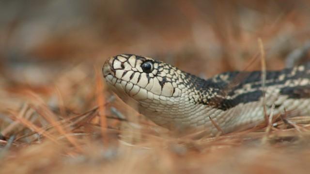 Pine Snake